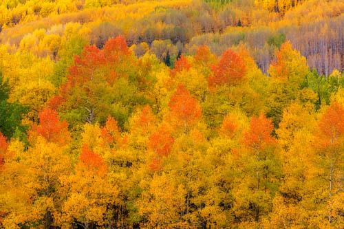 Orange - Yellow Aspen Grove