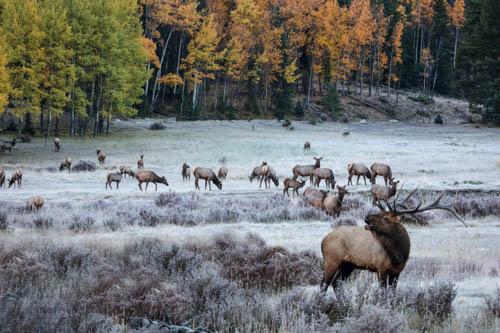 Bugling Elk, Colorado