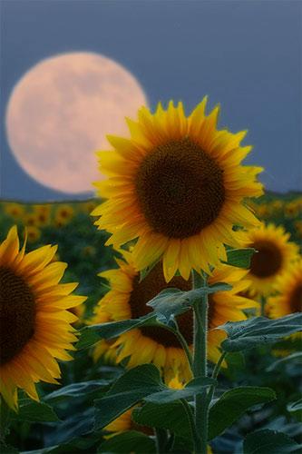 Sunflower - Full Moon