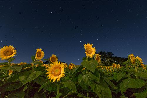 Sunflower Light Painting